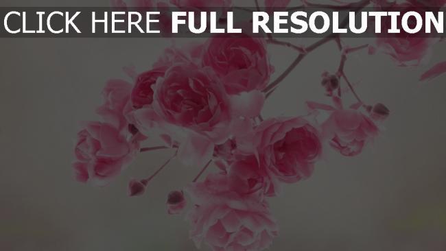 hd hintergrundbilder blühen zweig rosa blütenblätter knospen