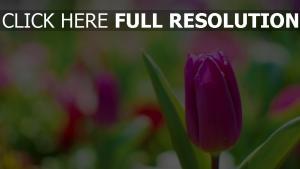 rosa tulpe tautropfen blüten
