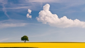 rapsfeld gelb blüte himmel blau