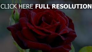 rose knospe rote rose tau feuchtigkeit