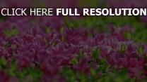 rhododendron blüte frühling blätter blüten