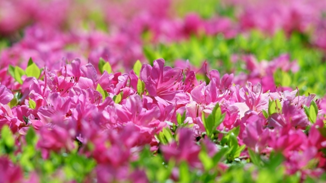 hd hintergrundbilder rhododendron blüte frühling blätter blüten