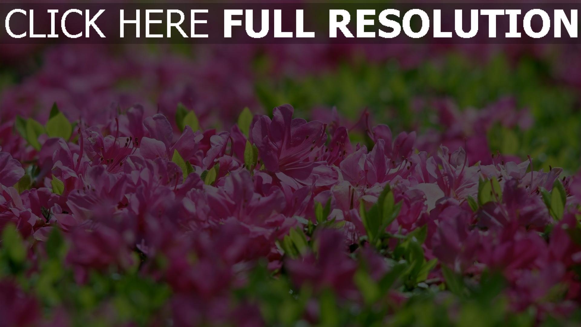hd hintergrundbilder rhododendron blüte frühling blätter blüten 1920x1080