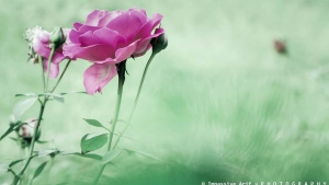 rosen blüten knospen pink unschärfe