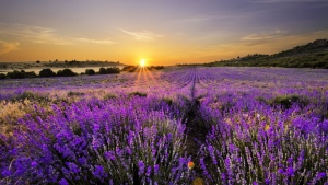lavendel blüte feld horizont sonnenuntergang