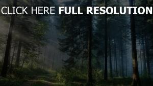seltene wald kiefer spur nebel strahlen licht