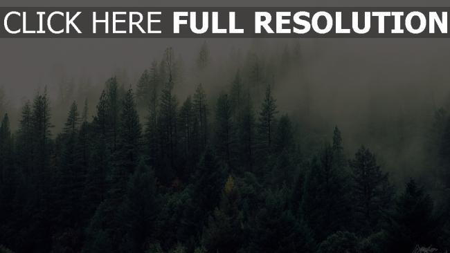 hd hintergrundbilder bäume wald nebel wald fichte