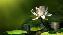 weißen lotus blätter blüten strahlen