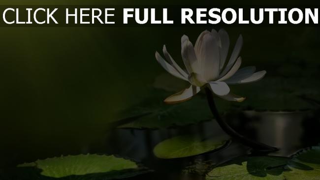 hd hintergrundbilder weißen lotus blätter blüten strahlen