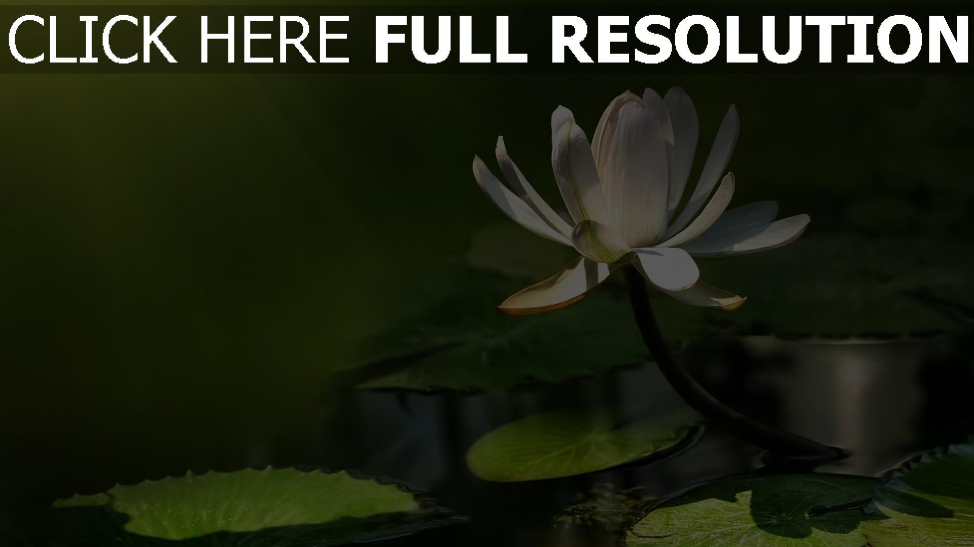 hd hintergrundbilder weißen lotus blätter blüten strahlen 1920x1080