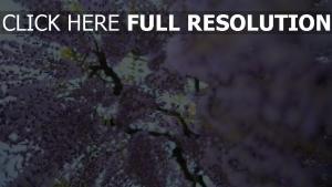 glyzinien lila blüten blüte