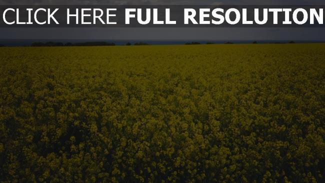 hd hintergrundbilder gelbe blumen feld raps blüte skyline