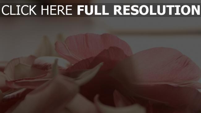 hd hintergrundbilder blumenblätter blumen rosa zärtlich romantisch