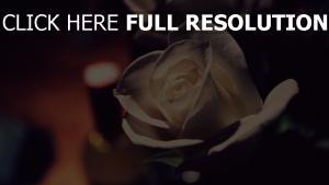 rose blume weiß romantik
