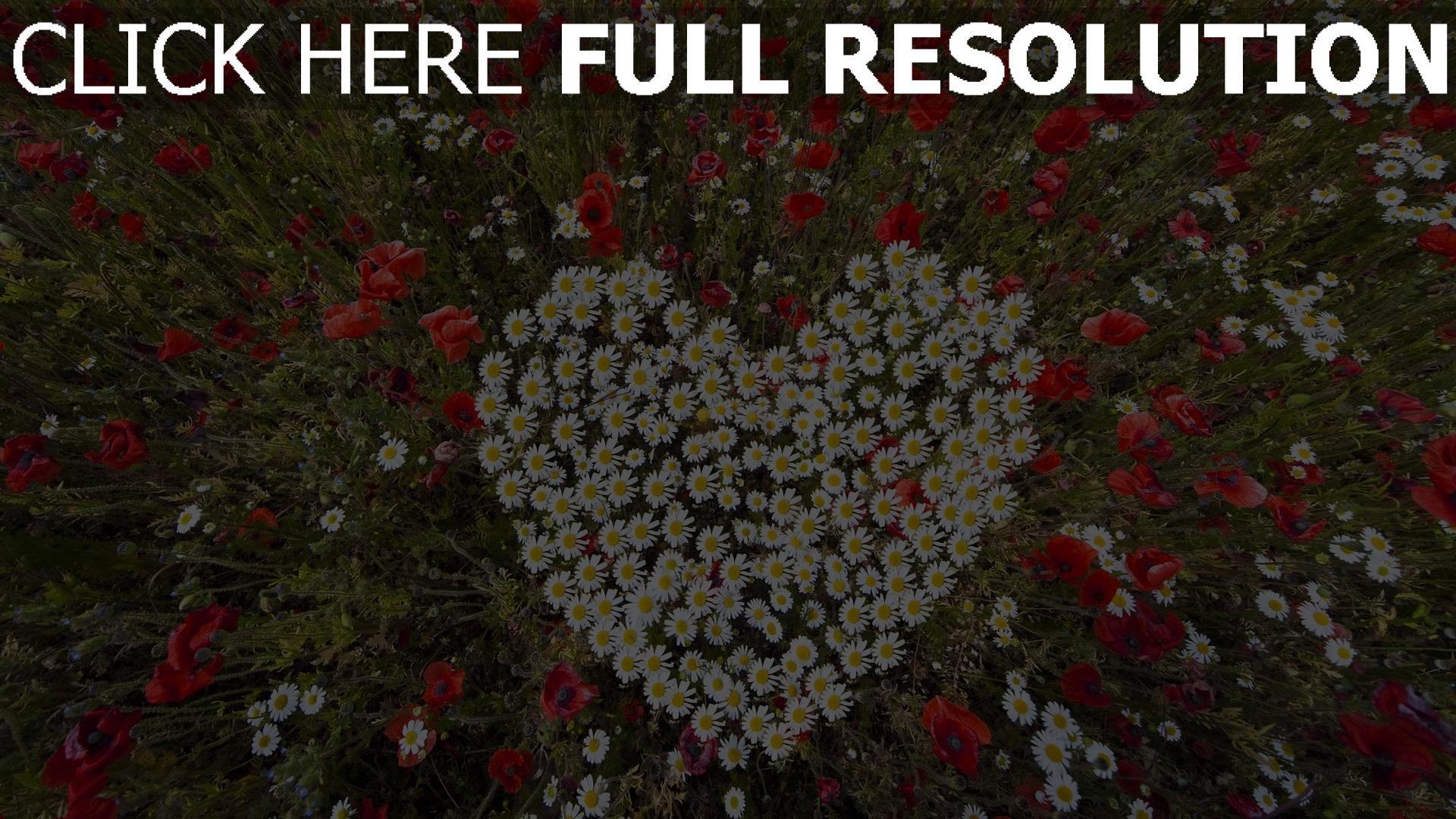 hd hintergrundbilder herzen gänseblümchen mohnblumen kräuter romantik 1920x1080