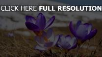 frühling primeln blau blütenblätter blumen