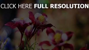 blüten rosa blüten staubblätter bokeh