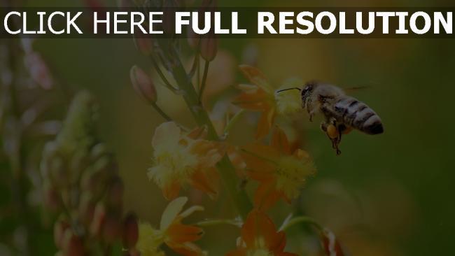 hd hintergrundbilder biene gelbe blüten blätter frühjahr