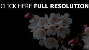 frühling zweig weiße blüten staubblätter