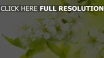 weiße blüten blütenstand weiße blütenblätter blüte
