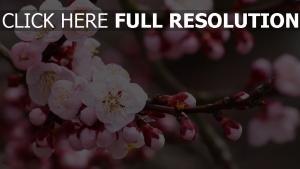blüte blütenblätter zärtlich zweige frühling