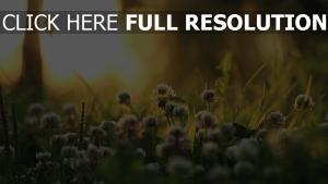 blumen klee wiese gras sonnenlicht