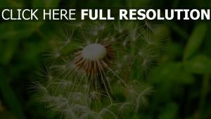 löwenzahn flaum pflanze vergrößerung