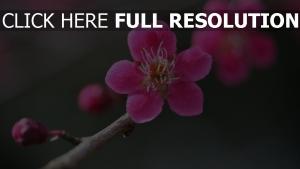 rosa blumen frühling ast knospen bokeh