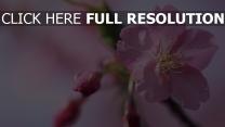 blütenblätter knospen blüten rosa blumen frühling