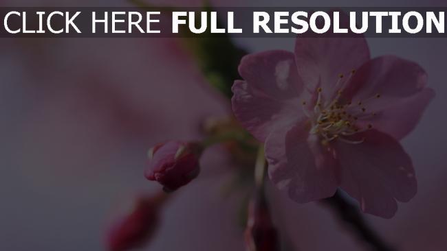 hd hintergrundbilder blütenblätter knospen blüten rosa blumen frühling