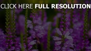 blumen lila blütenblätter frühling blühen
