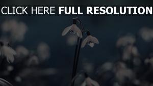 schneeglöckchen frühling blüte unschärfe