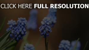 blüte blau blumen frühling gras