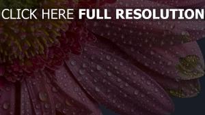 rosa blüten tropfen erhöhen tau