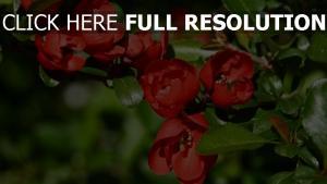 büsche äste frühling rote blumen