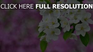 blüte weiße blüten blätter unschärfe frühling