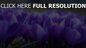 krokus frühling blüten weich unschärfe