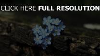 frühling blumen empfindlich blau blüte