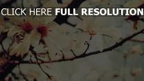 blumen zweige blüten magnolie frühling