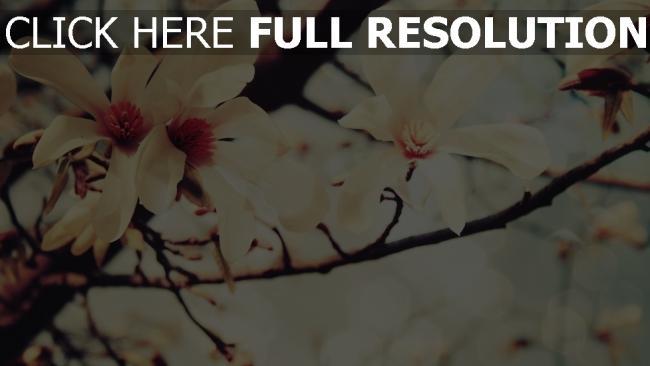 hd hintergrundbilder blumen zweige bl ten magnolie. Black Bedroom Furniture Sets. Home Design Ideas