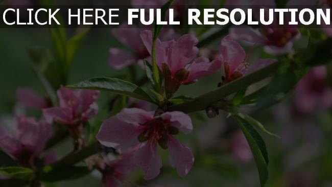 hd hintergrundbilder blüte zweige sträucher rosa blumen frühling