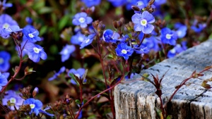 blumen blau gras frühlingsblüher