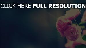 rosen sonnenschein rosa blütenblätter glühen