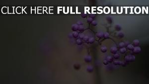 beeren lila zweig unschärfe