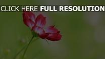 blumen blüten rot stengel unschärfe