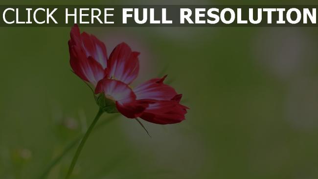 hd hintergrundbilder blumen blüten rot stengel unschärfe