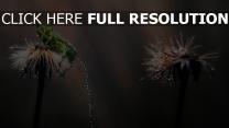 tropfen regen löwenzahn nass stengel