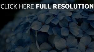 blütenblätter blau hortensie blüte
