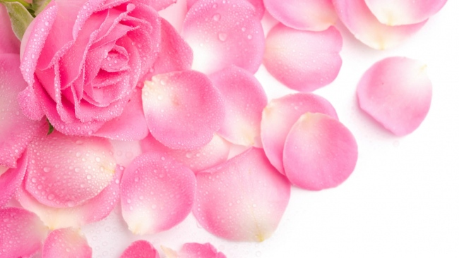 hd hintergrundbilder blütenblätter rosa rose tropfen zärtlichkeit
