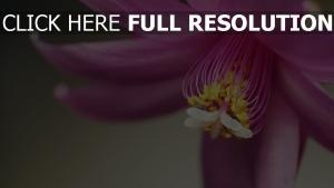 blumen blüten rosa staubblätter